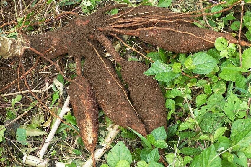 cassava(キャッサバ)
